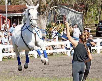 Lippizzaner stallion