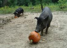 Pumpkins for pigs(1)