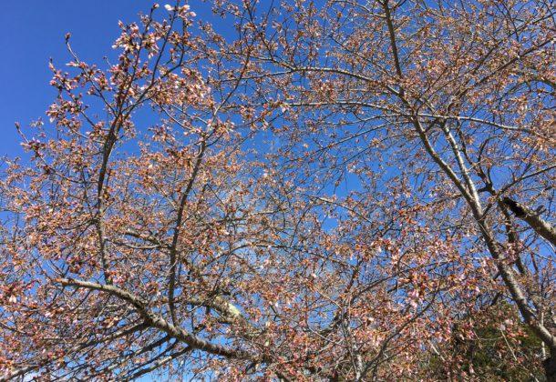 artspark cherry blossom festival