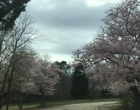 cherry trees bloom