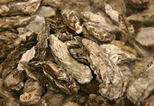 SlackWater why oysters matter