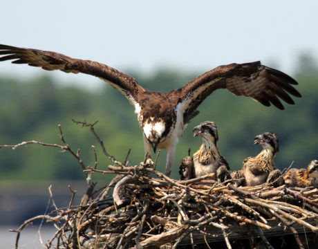 ospreys return